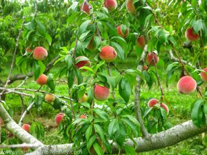 Pick Your Own Peach Farms Around Jersey City