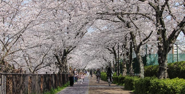 places to see cherry blossoms near Jersey City NJ