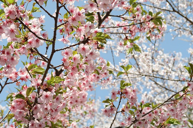 Top 5 Scenic places to see cherry blossoms near Jersey City NJ